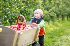 Happy blond toddler with wooden trolley full of organic red appl Royalty Free Stock Photography