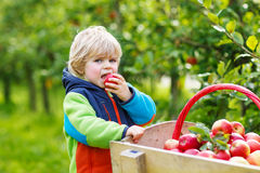 Happy blond toddler with wooden trolley full of organic red appl Stock Image