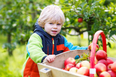 Happy blond toddler with wooden trolley full of organic red appl Stock Photography