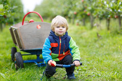 Happy blond toddler with wooden trolley full of organic red appl Royalty Free Stock Photo