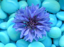Happy blue. Photograph of a blue flower against a background of small blue stones Royalty Free Stock Images