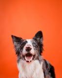 Happy Blue Merle Border Collie Dog on Orange Background. Happy blue merle border collie dog smiles on an orange background Royalty Free Stock Photo