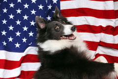 Happy border collie on American flag Stock Photos