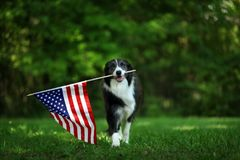 Happy border collie carrying American flag royalty free stock images