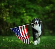 Happy border collie carrying USA flag stock photography
