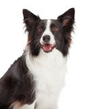 Happy Border Collie Closeup stock photo