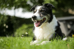 Happy border collie dog stock photos