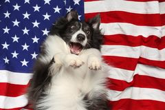 Happy dog playing on American flag. Happy border collie dog playing on American flag Royalty Free Stock Images