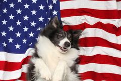 Happy dog playing on American flag stock photography
