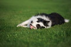 happy border collie dog rolling on grass Royalty Free Stock Photos
