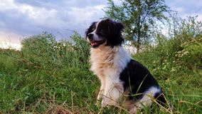 Happy border collie dog seated on the grass in the middle of the nature looking around enjoying the silence of a sunny day stock video