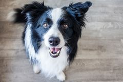 Happy Border Collie dog on the ground royalty free stock image