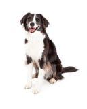 Happy Border Collie Dog Sitting Royalty Free Stock Photo
