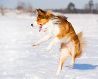 Happy border collie jump Stock Images