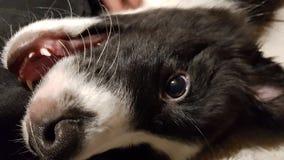 Happy border collie stock photo