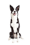 Happy Border Collie Mix Breed Dog Sitting stock photo