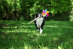 Happy border collie playing with pinwheel. Happy border collie playing with a colorful pinwheel Royalty Free Stock Photo