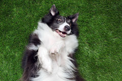 Happy border collie playing outside Royalty Free Stock Image
