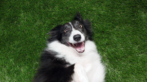 Happy border collie playing outside Royalty Free Stock Photos