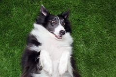 Happy border collie playing outside. On the grass Royalty Free Stock Photos