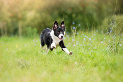 Border collie puppy running through a meadow royalty free stock photos