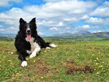 Happy Border Collie Royalty Free Stock Image