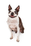 Happy Boston Terrier Dog Royalty Free Stock Images