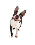 Happy Boston Terrier Walking Forward Stock Images