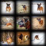 Happy boxer breed images collection Royalty Free Stock Images