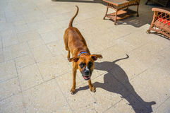 happy boxer dog royalty free stock photography