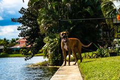 Happy boxer dog Royalty Free Stock Image