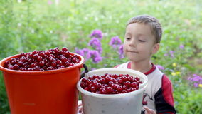 Happy boy treats freshly picked cherries stock video