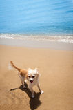 Happy bright chihuahua on tropical beach Royalty Free Stock Image