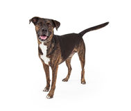 Happy Brindle Color Dog Standing Stock Images