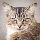 Happy Brown, Black and White Tabby Cat. Brown, black and white tabby cat looking happy with green eyes partially closed Royalty Free Stock Image