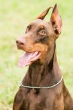 Happy brown doberman Royalty Free Stock Photos