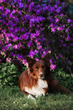 Happy brown dog border collie Stock Image