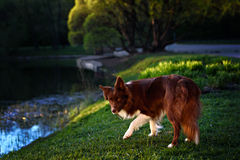 Happy brown dog border collie Stock Photo