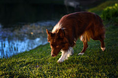Happy brown dog border collie Royalty Free Stock Image
