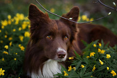 Happy brown dog border collie portrait Stock Images