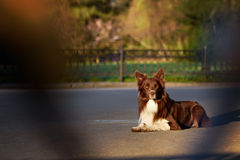 Happy brown dog border collie Royalty Free Stock Photography