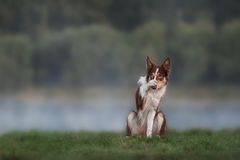 Happy brown dog border collie portrait royalty free stock photo