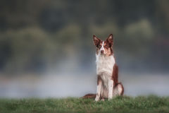 Happy brown dog border collie portrait Royalty Free Stock Image