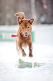 Brown dog running in winter Royalty Free Stock Photos