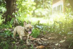 Happy brown french bulldog playing on the green grass field, loo. King for friend, warm feeling and warm light Stock Photo