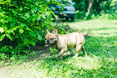 Happy brown french bulldog playing on the green grass field, mak royalty free stock photography