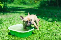 Happy brown french bulldog playing on the green grass field, mak. Ing funny face, friendly pet Stock Photo