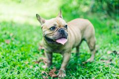 Happy brown french bulldog playing on the green grass field, mak. Ing funny face, friendly pet Stock Photography