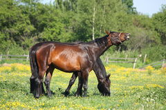 Happy brown horse smilling at the field with flowers Royalty Free Stock Images