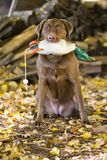 Happy Brown Labrador Retriever Royalty Free Stock Photos